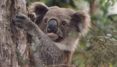 Koala Tours at the You Yangs (Second tour) - Green Living Series