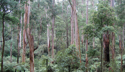 Victorian forests need friends like you!