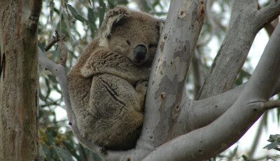 Image result for koala clancy foundation werribee